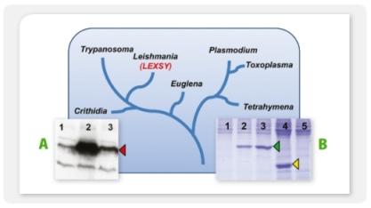 Figure 18 stammbaum parasites