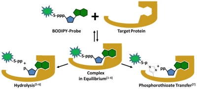 Scheme 1: BODIPY® FL NTPs as fluorescent probes for protein-NTP-interactions.