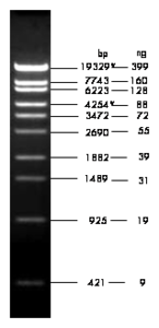 1 μg loaded onto 1.0 % agarose