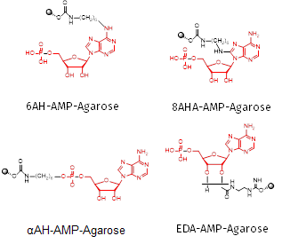 Fig 2 Structures of the four AMPAgarose materials