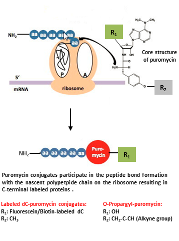Puromycin Conjugates For Specific C Terminal Protein Labeling In