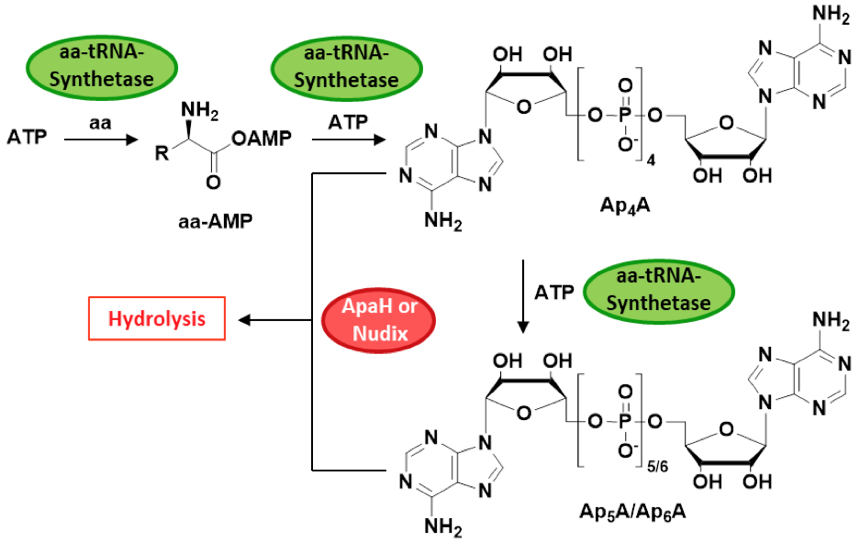 Scheme 1: Biosynthesis and clearance of ApnAs.