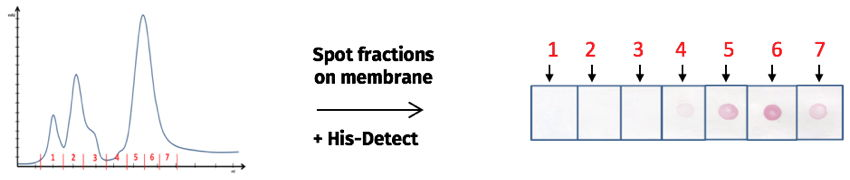 Detection of fractions containing His-tagged proteins
