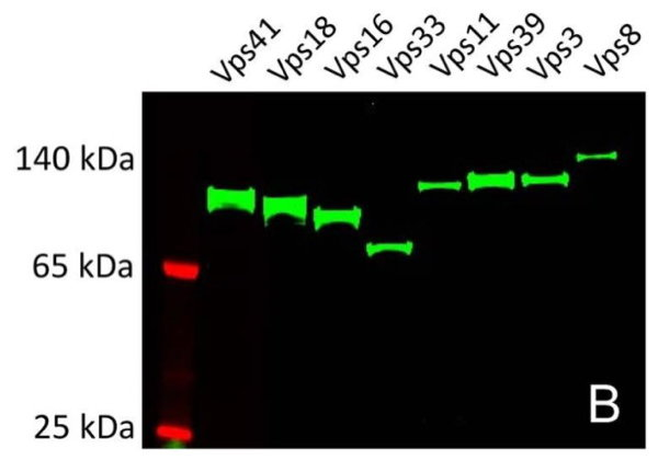 Figure 1: All subunits of the HOPS membrane tethering complex have been expressed as GFP fusions with LEXSY in vitro translation extract, some of them as large as 140 kDa. From Guo et al., 2013.