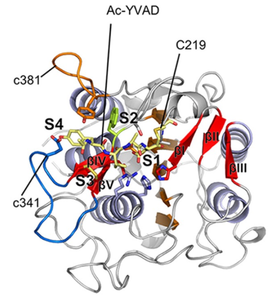 Figure 1: Crystal structure of the protease/peptide ligase legumain gamma from Arabidopsis thaliana, expressed with LEXSY. From Zauner et al., 2018.