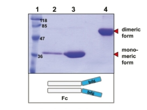 Figure 15 recomb. antibodies
